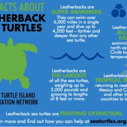 leatherback-sea_turtles_5_facts