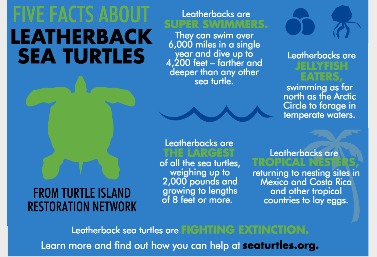 leatherback-sea_turtles_5_facts