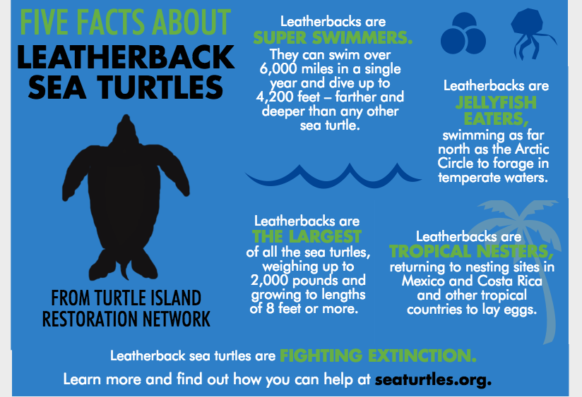 Five Facts about Pacific Leatherback Sea Turtles