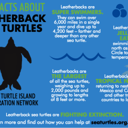 leatherbacks_fivefacts