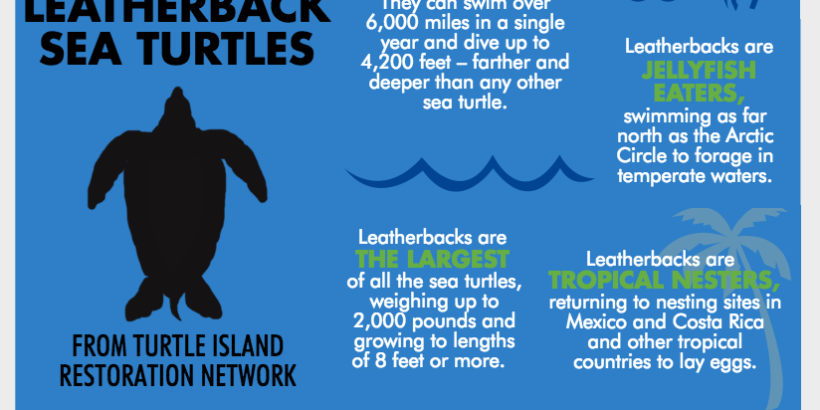 Five Facts about Pacific Leatherback Sea Turtles - Turtle ...