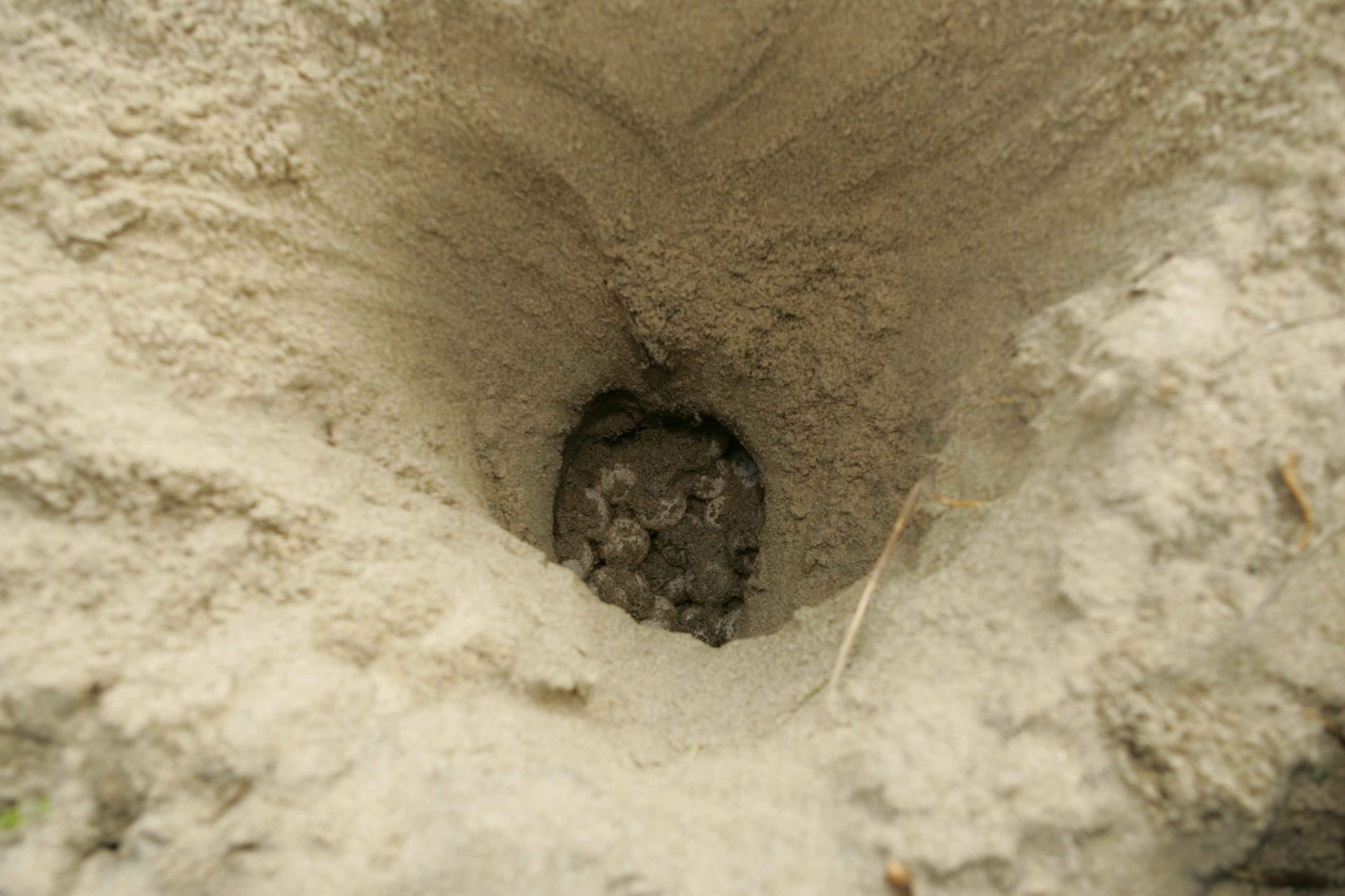 top-view-of-a-loggerhead-sea-turtle-nest