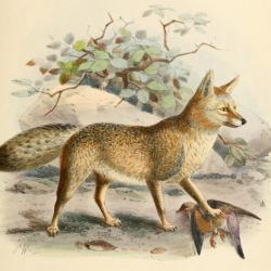 keulemans_chama_fox