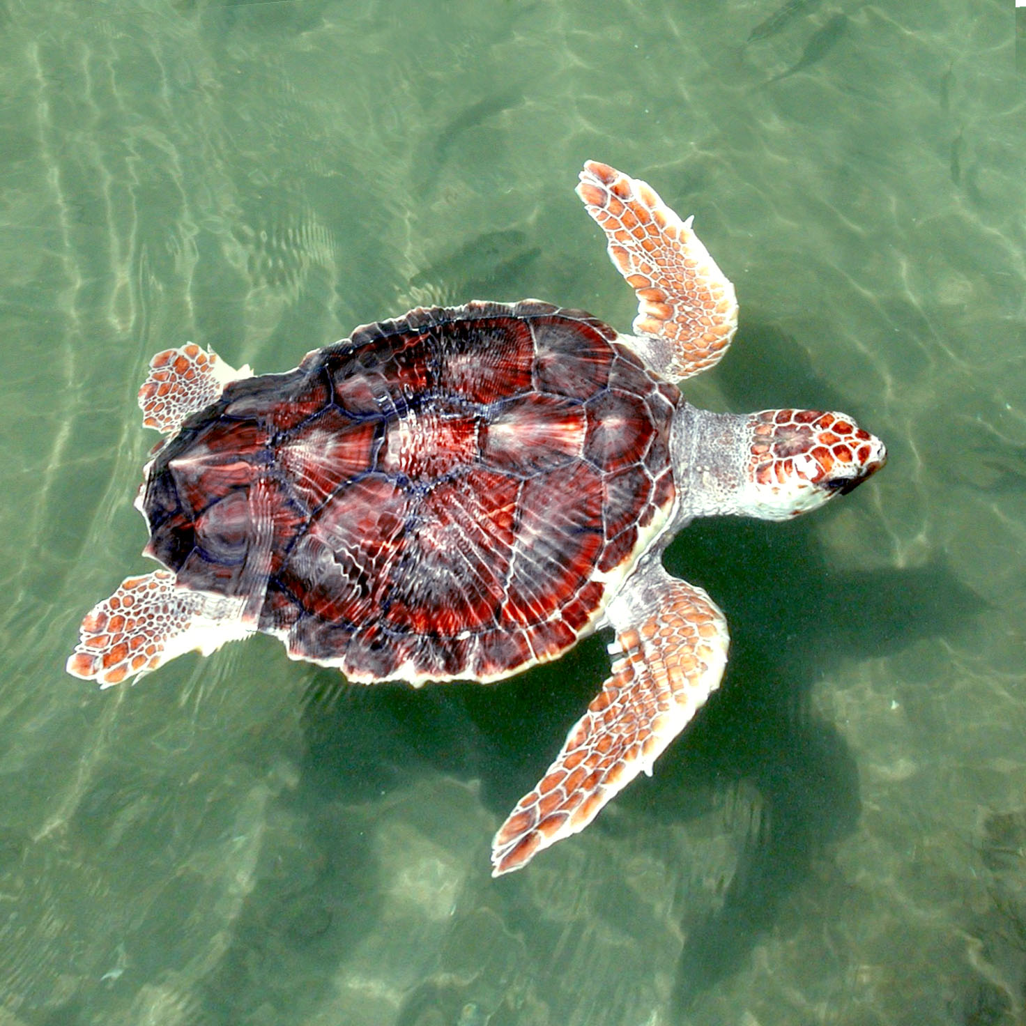 Fisheries Service Proposes Overdue Measures to Stop Sea Turtle Deaths