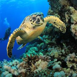 hawksbill-turtle-scuba-divers-coral-reef