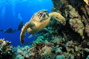hawksbill-turtle-scuba-divers-coral-reef