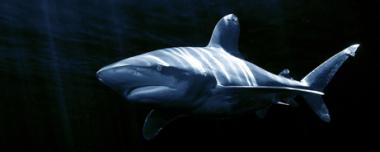 OceanicWhitetipShark