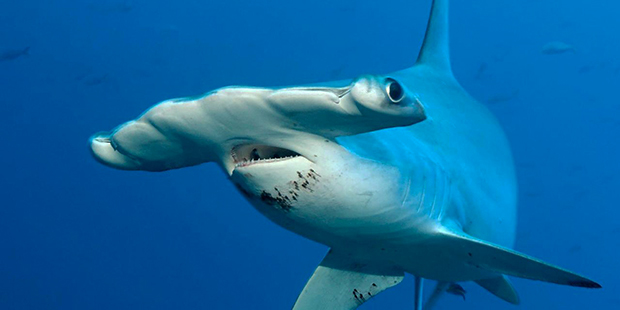 Dive with Sharks at Cocos Island