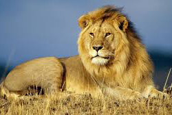Lion 300x168