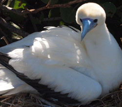 Red Footed Booby - courtesy of the USFWS