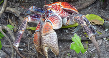 Coconut crab - courtesy of USFWS