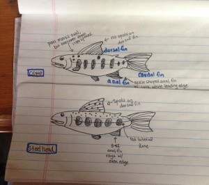Hand drawn fish ID cheat sheet (please note: fins are not to scale).