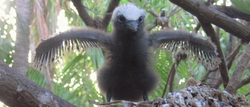 Noddy chick - courtesy of USFWS