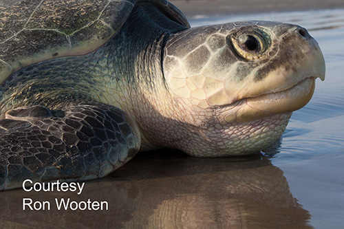 Kemp's ridley sea turtle 500x333 Ron Wooten