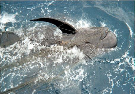 New Threat to West Coast Whales, Dolphins, and Sea Turtles