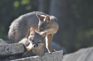 Grey fox kit DSC_0182