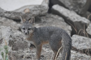 Grey fox kit DSC_0191