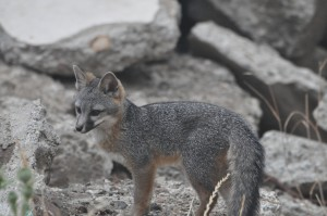 Grey fox kit DSC_0192