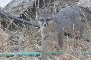 Grey fox kit DSC_0196