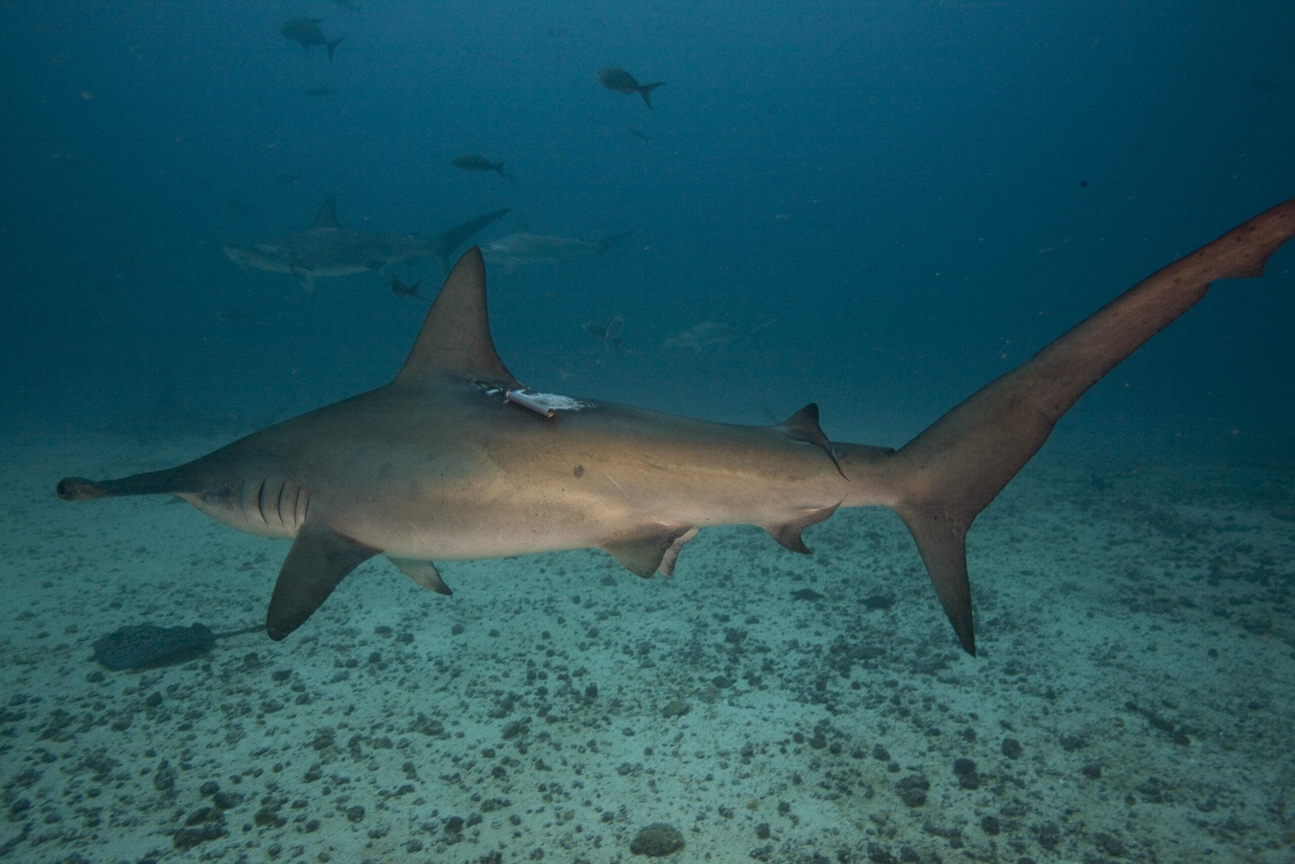 Hammerhead Shark Photo ID Project