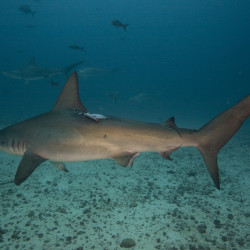 Hammerhead with acoustic tag.  (c) Edwar Hereno
