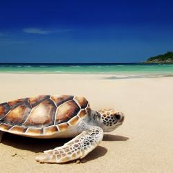 Sea-turtle-on-beach