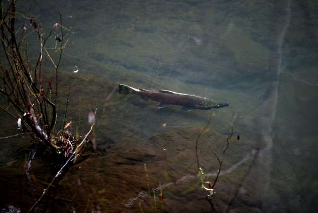 Salmon Recovery Funds At Risk
