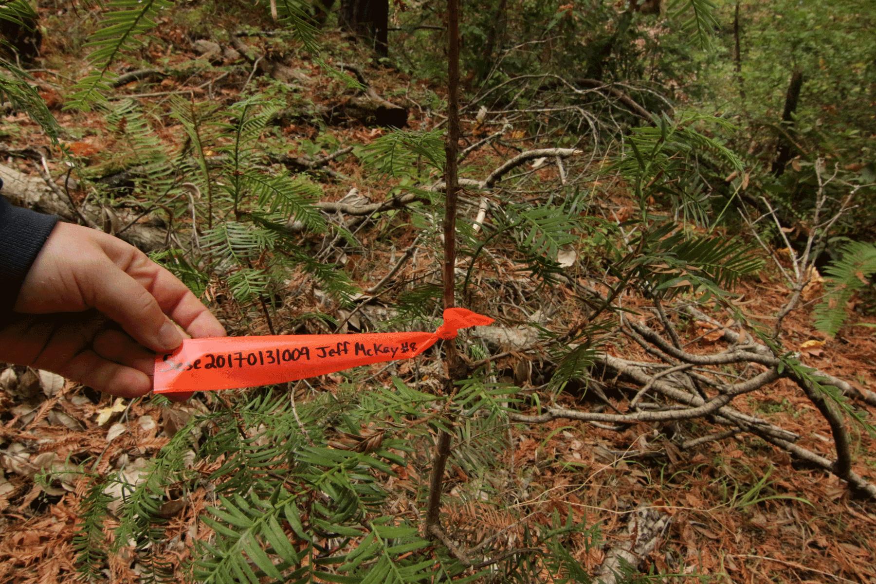 Tagging_Redwood_Web