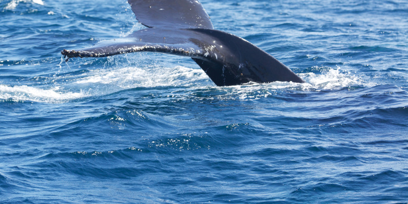 humpback-whale-monterey-CA