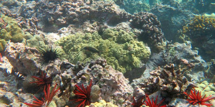 Hawaii_Coral_King