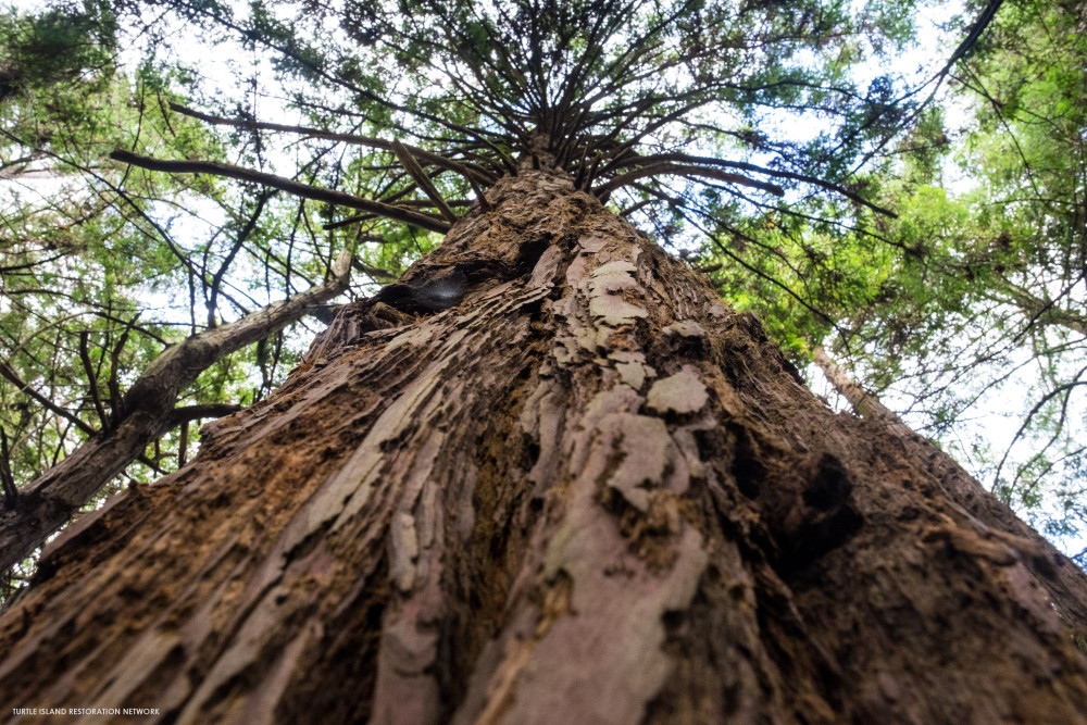 Redwoods: A Vault for the World's Carbon