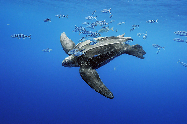 Pacific Leatherback Sea Turtle Among Endangered Species Decisions Undercut By Politics