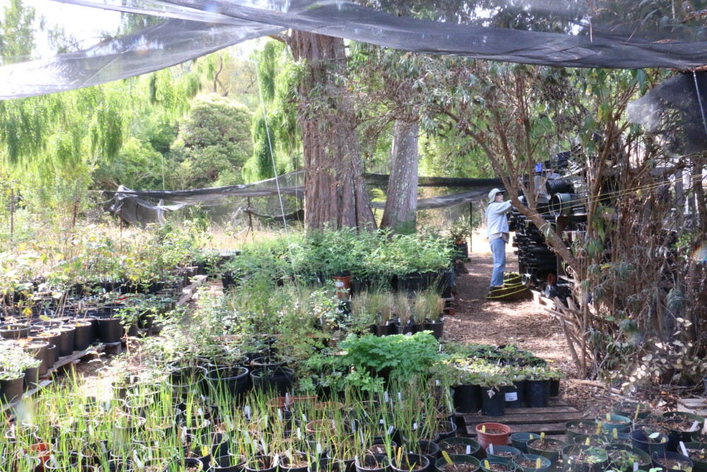 Redwood trees growing in our native plant nursery. They will one day fight climate change.