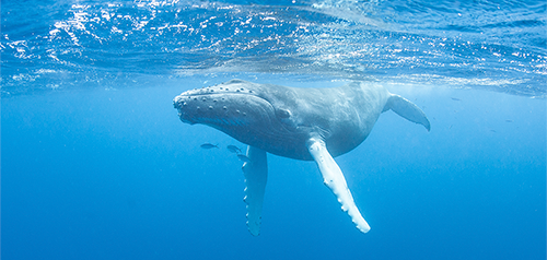 Lawsuit Launched to Protect Pacific Habitat for Humpback Whales Threatened by Fishing Gear, Ship Strikes, Oil Spills
