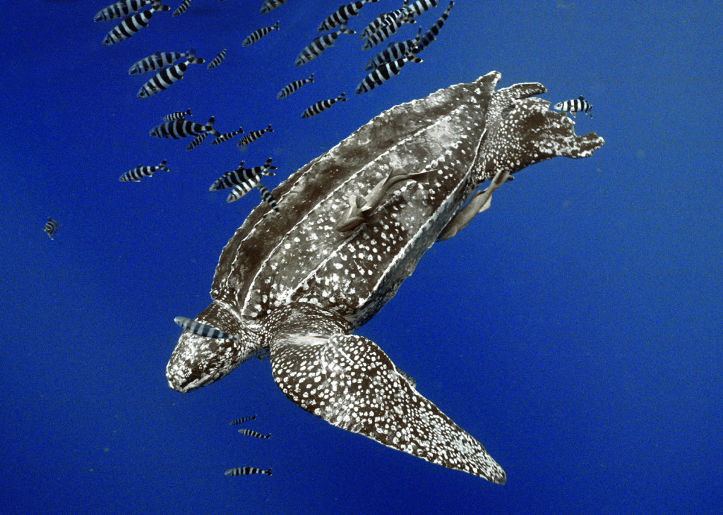Swimming Leatherback