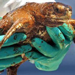 Sea Turtle Oil NOAA