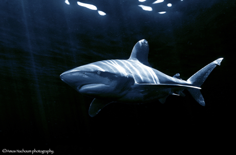 Thank you for protecting the oceanic whitetip shark!