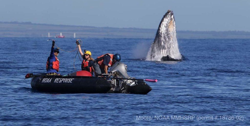 Free The Whales: The Hawaiian Islands Large Whale Entanglement Response Team