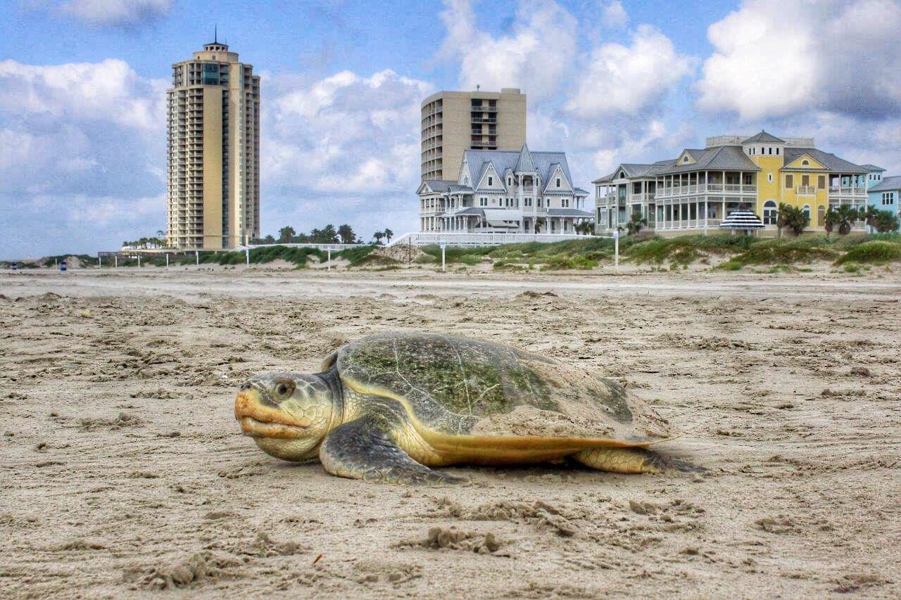 Texas Welcomes Endangered Sea Turtles