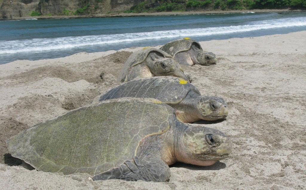Nesting sea turtles. Poachers.