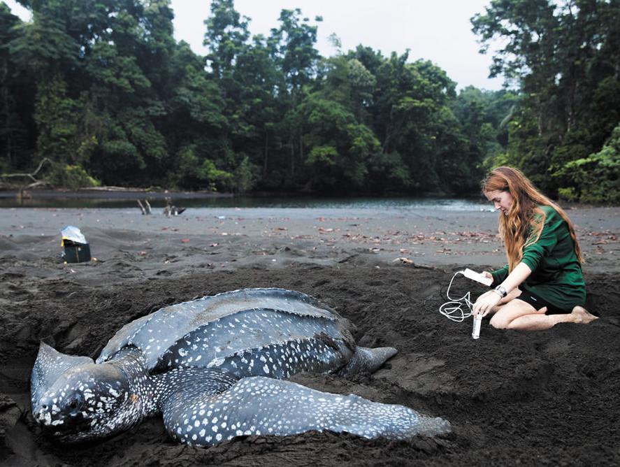 Callie Veelenturf monitors a leatherback nest.
