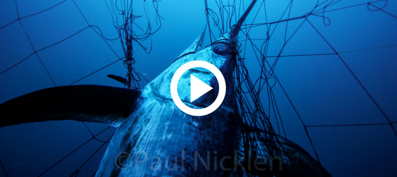 Swordfish trapped in a drifnet. Photo by Paul Nicklen of SeaLegacy.
