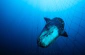Sunfish_Gillnet01-2