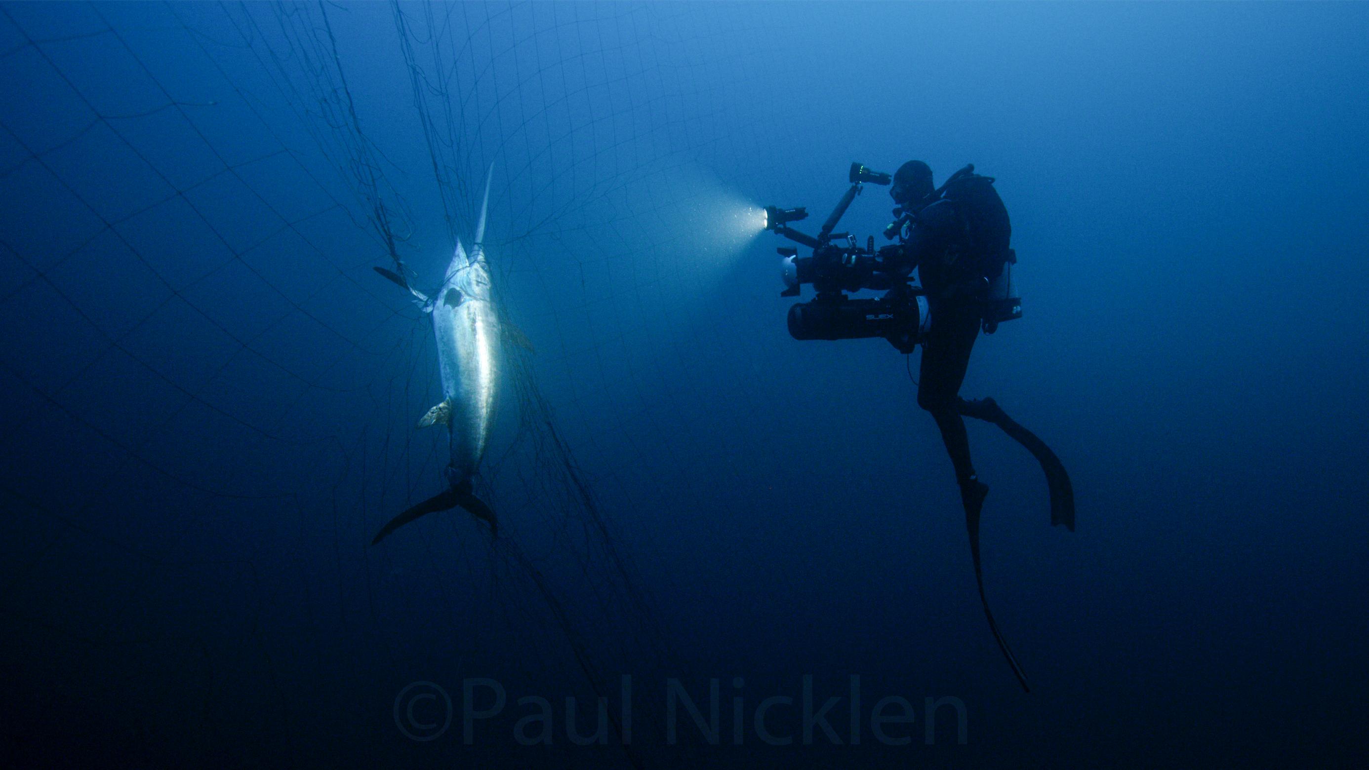Swordfish Caught in a Driftnet