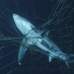 Thresher_Gillnet-01-3