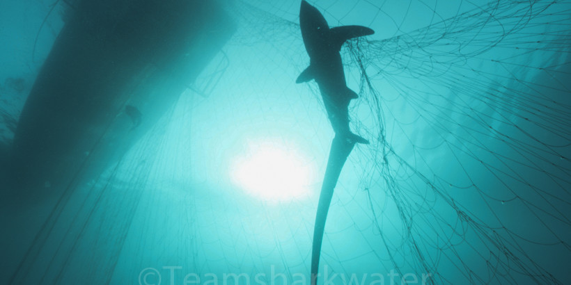 Thresher_Gillnet-02-3