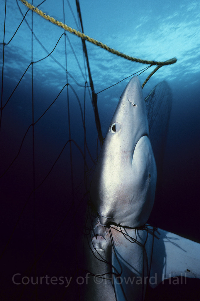 Blue shark, Prionace glauca, in drift gill net, Southern California