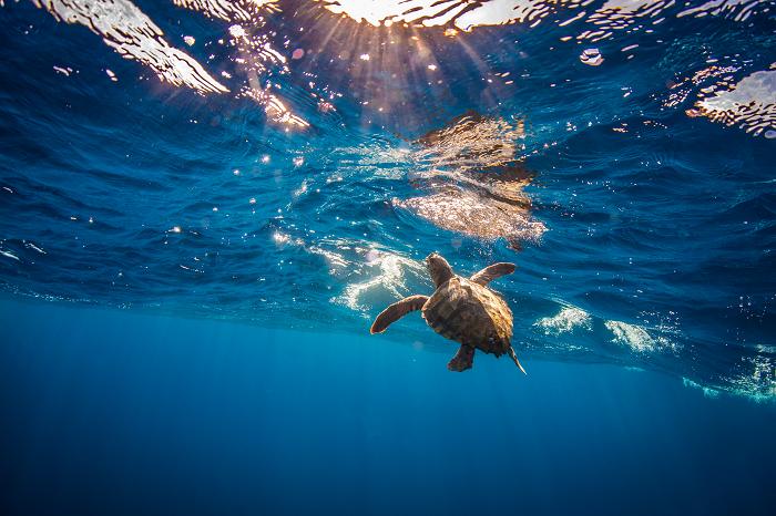 Court Orders Hawai'i Shallow-set Longline Fishery to Close to Protect Loggerhead Sea Turtles