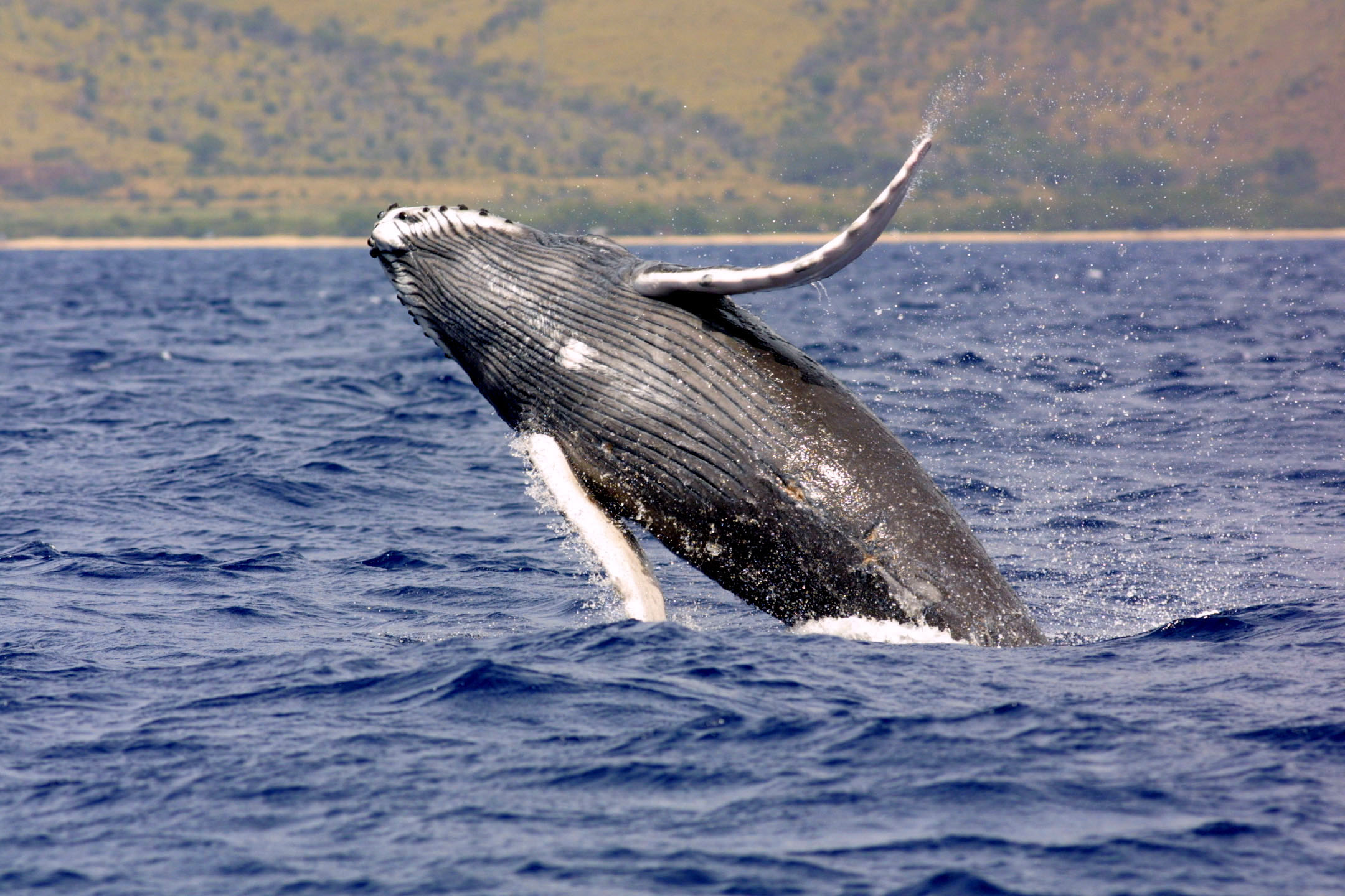 Lawsuit Settled to Protect Pacific Humpback Whale Habitat