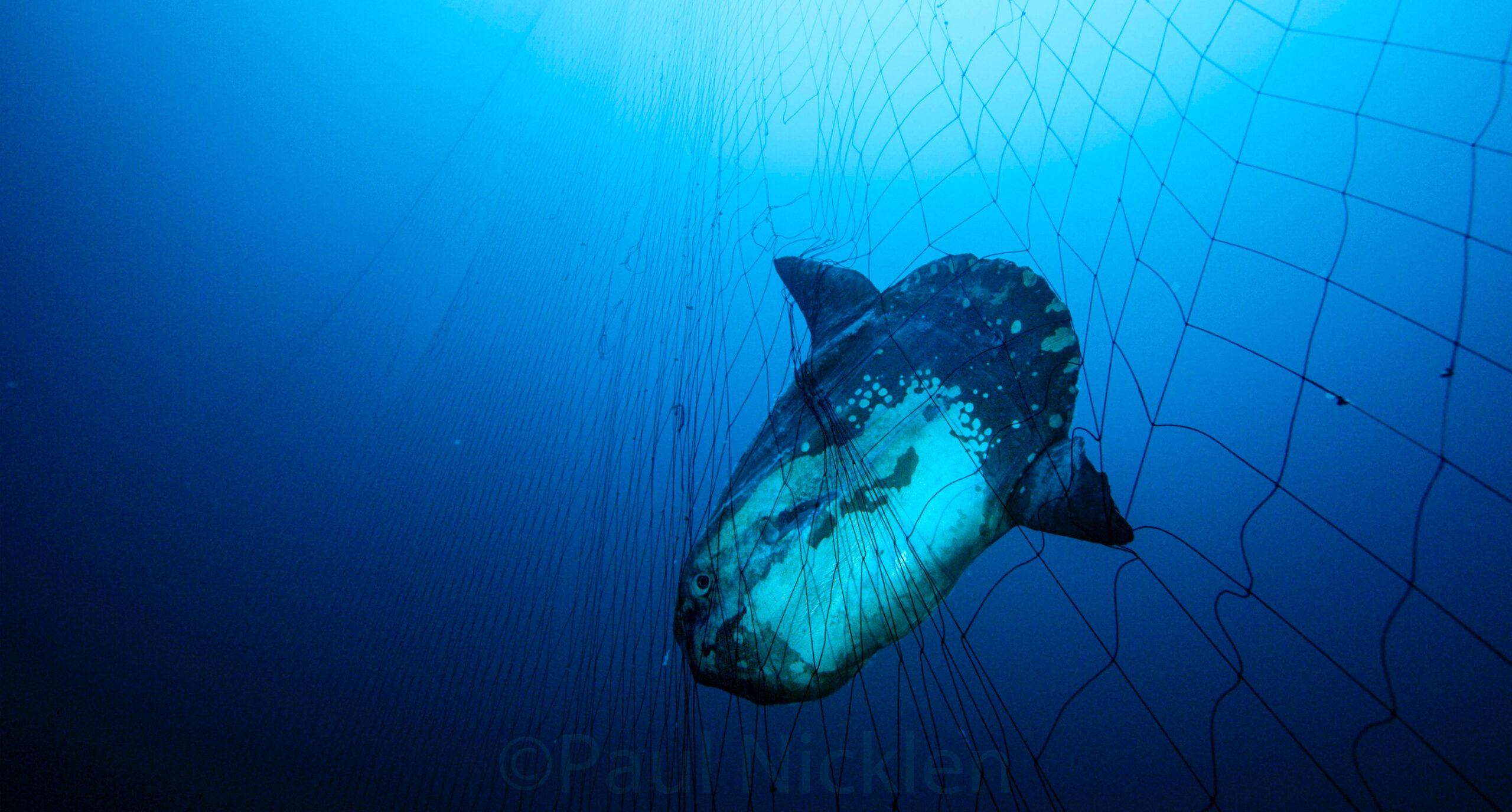 The End of Death Nets: California Legislature Passes Bill to Protect Marine Wildlife from California Driftnets